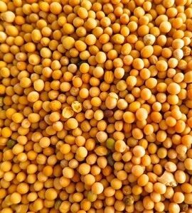 Yellow Mustard Seeds Exporter and Supplier by Radha International